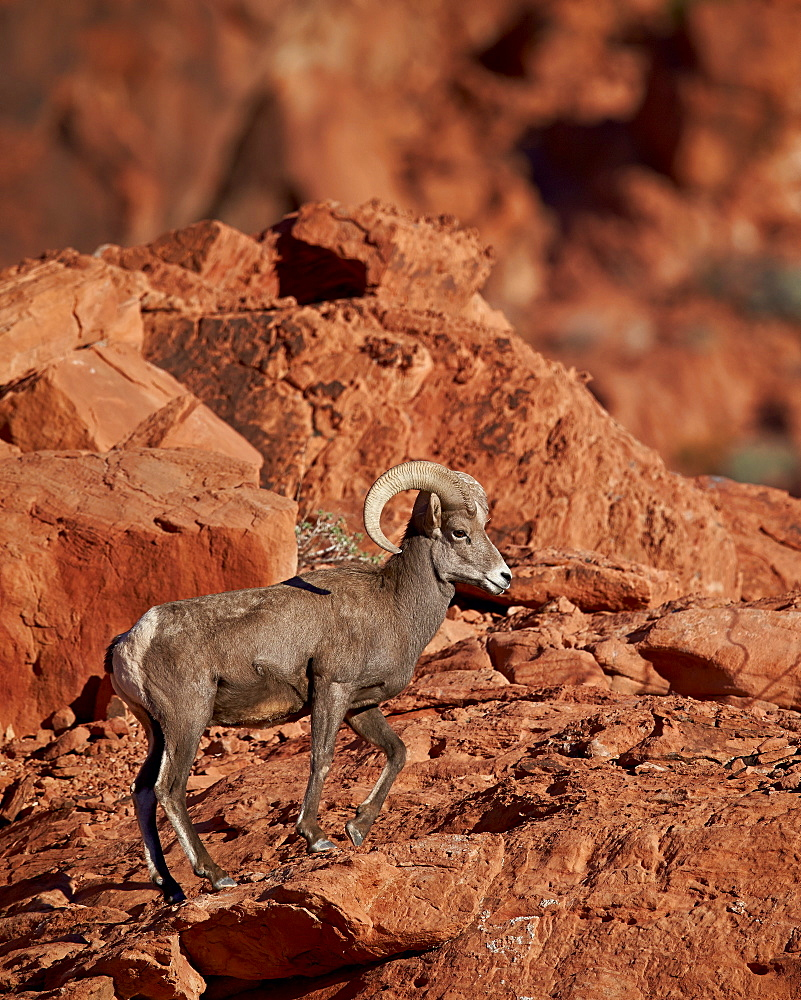 Desert Bighorn Sheep (Ovis canadensis nelsoni) ram, Valley of Fire State Park, Nevada, United States of America, North America