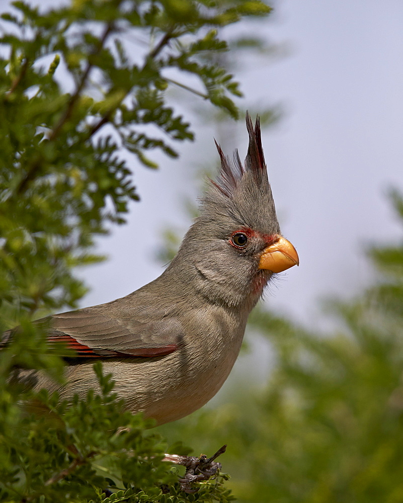 Pyrrhuloxia (Cardinalis sinuatus) female, Chiricahuas, Coronado National Forest, Arizona, United States of America, North America