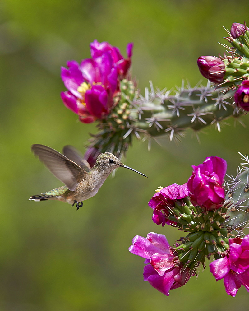 Female broad-tailed hummingbird (Selasphorus platycercus) feeding at a Walkingstick Cholla (Cane Cholla) (Opuntia spinosior), Arizona, United States of America, North America