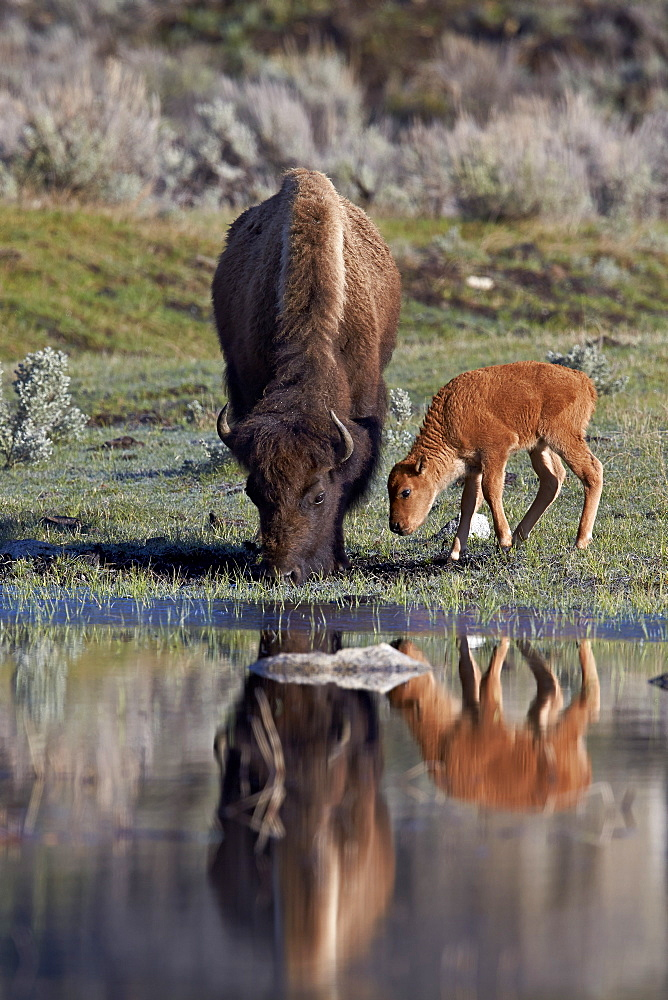Bison (Bison bison) cow and calf, Yellowstone National Park, UNESCO World Heritage Site, Wyoming, United States of America, North America