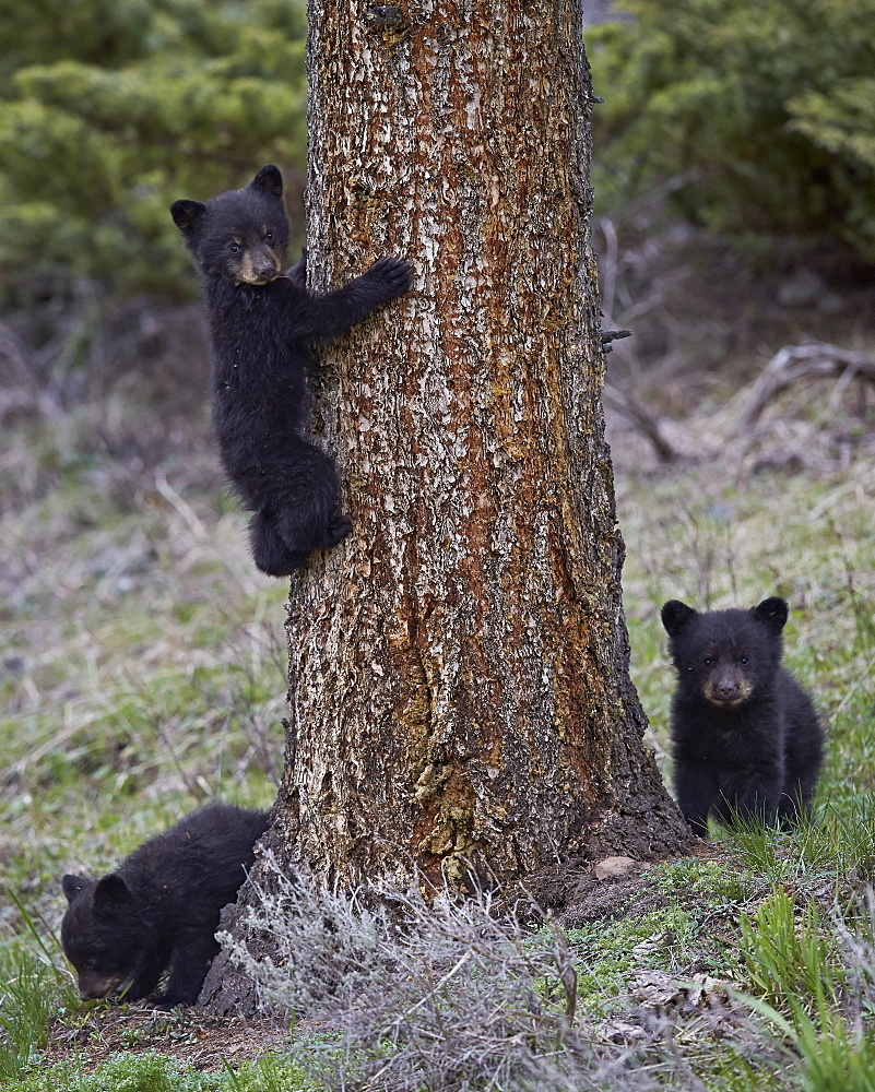 Three black bear (Ursus americanus) cubs of the year, Yellowstone National Park, Wyoming, United States of America, North America