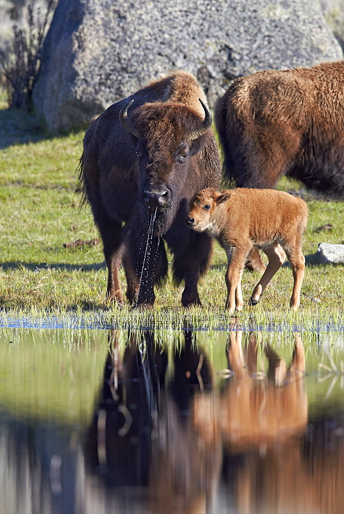Bison (Bison bison) cow and calf in the spring, Yellowstone National Park, UNESCO World Heritage Site, Wyoming, United States of America, North America