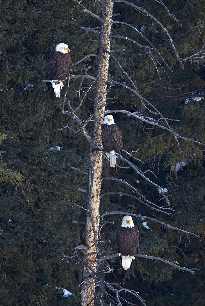 Three bald eagle (Haliaeetus leucocephalus) in an evergreen tree, Yellowstone National Park, Wyoming, United States of America, North America