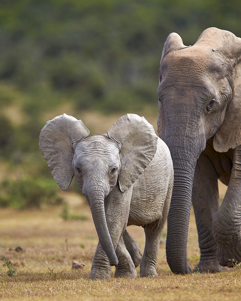 African elephant (Loxodonta africana) juvenile and adult, Addo Elephant National Park, South Africa, Africa