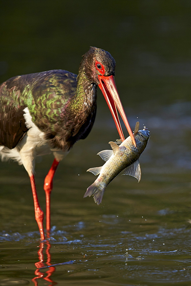 Black stork (Ciconia nigra) with a fish, Kruger National Park, South Africa, Africa