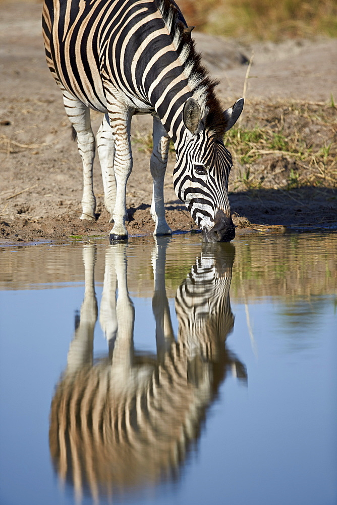 Common zebra (Plains zebra) (Burchell's zebra) (Equus burchelli) drinking with reflection, Kruger National Park, South Africa, Africa