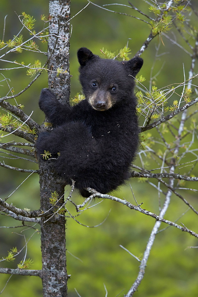 Black bear (Ursus americanus) cub of the year or spring cub in a tree, Yellowstone National Park, Wyoming, United States of America, North America