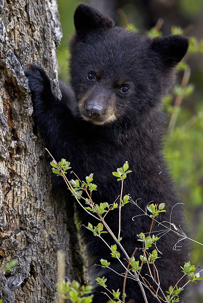 Black bear (Ursus americanus) cub of the year or spring cub, Yellowstone National Park, Wyoming, United States of America, North America