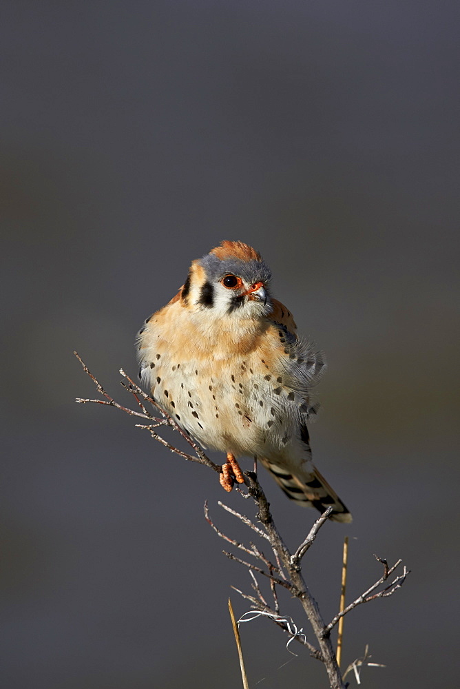 American Kestrel (Sparrow Hawk) (Falco sparverius), male, Yellowstone National Park, Wyoming, United States of America, North America