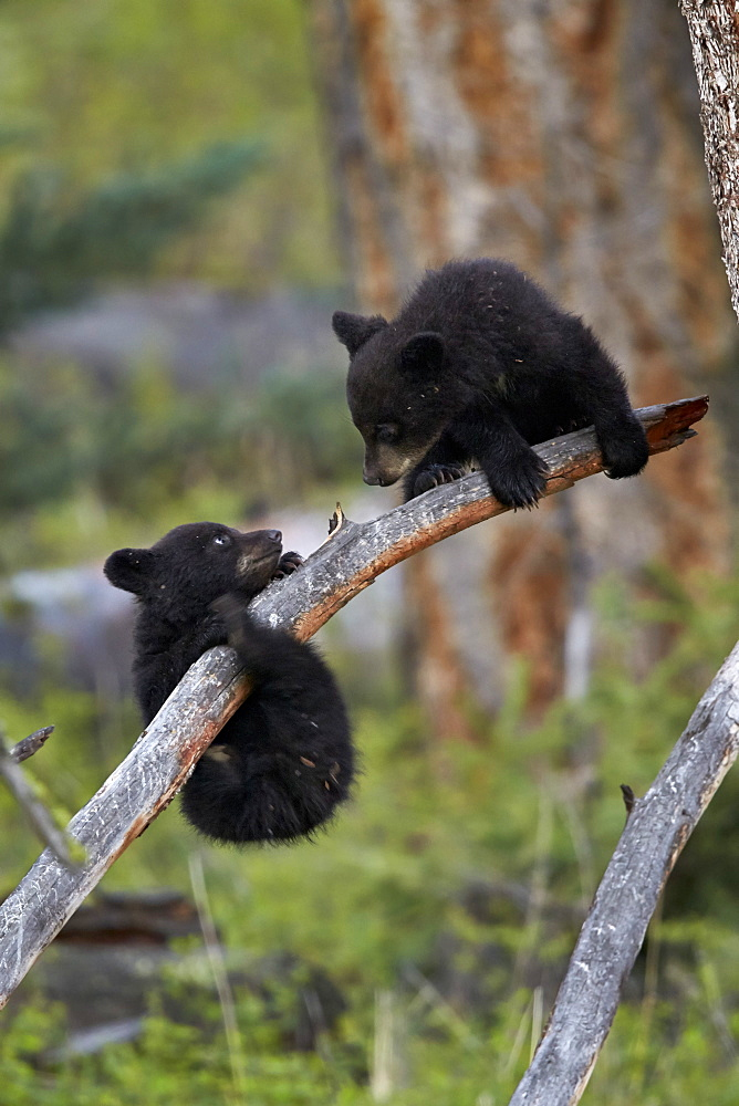 Two Black Bear (Ursus americanus) cubs of the year or spring cubs playing, Yellowstone National Park, Wyoming, United States of America, North America