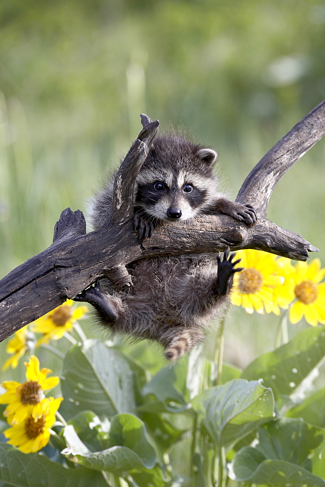 Captive baby raccoon (Procyon lotor), Animals of Montana, Bozeman, Montana, United States of America, North America - 764-552