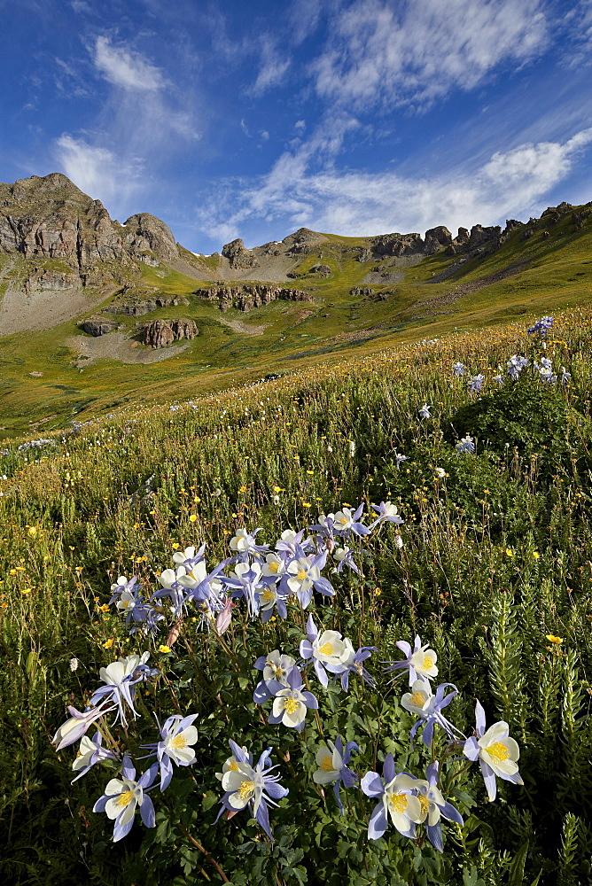 Blue columbine (Colorado columbine) (Aquilegia coerulea) in an Alpine basin, San Juan National Forest, Colorado, United States of America, North America