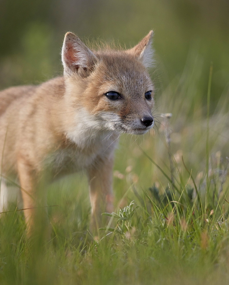Swift Fox (Vulpes velox) kit, Pawnee National Grassland, Colorado, USA