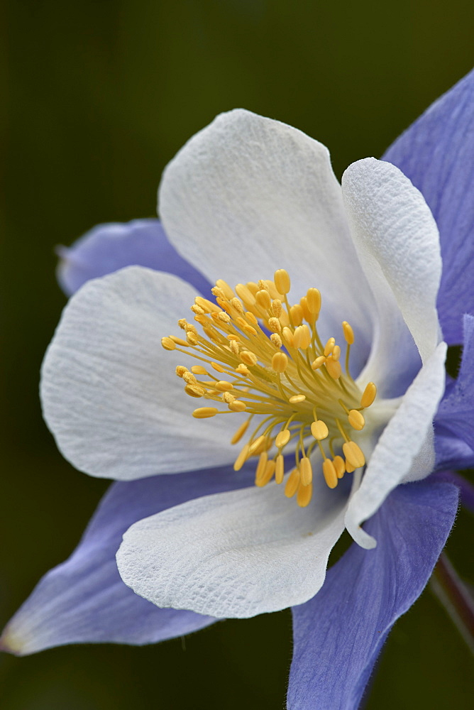 Blue columbine (Colorado columbine) (Aquilegia coerulea), San Juan National Forest, Colorado, United States of America, North America