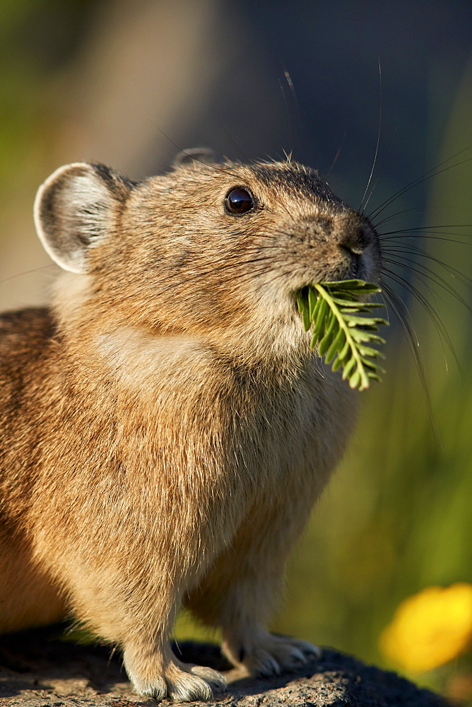 American pika (Ochotona princeps) with food in its mouth, San Juan National Forest, Colorado, United States of America, North America