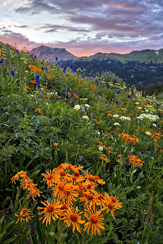 Alpine meadow with Orange Sneezeweed (Hymenoxys hoopesii, Dugaldia hoopesii, or Helenium hoopesii) and other wildflowers, San Ju