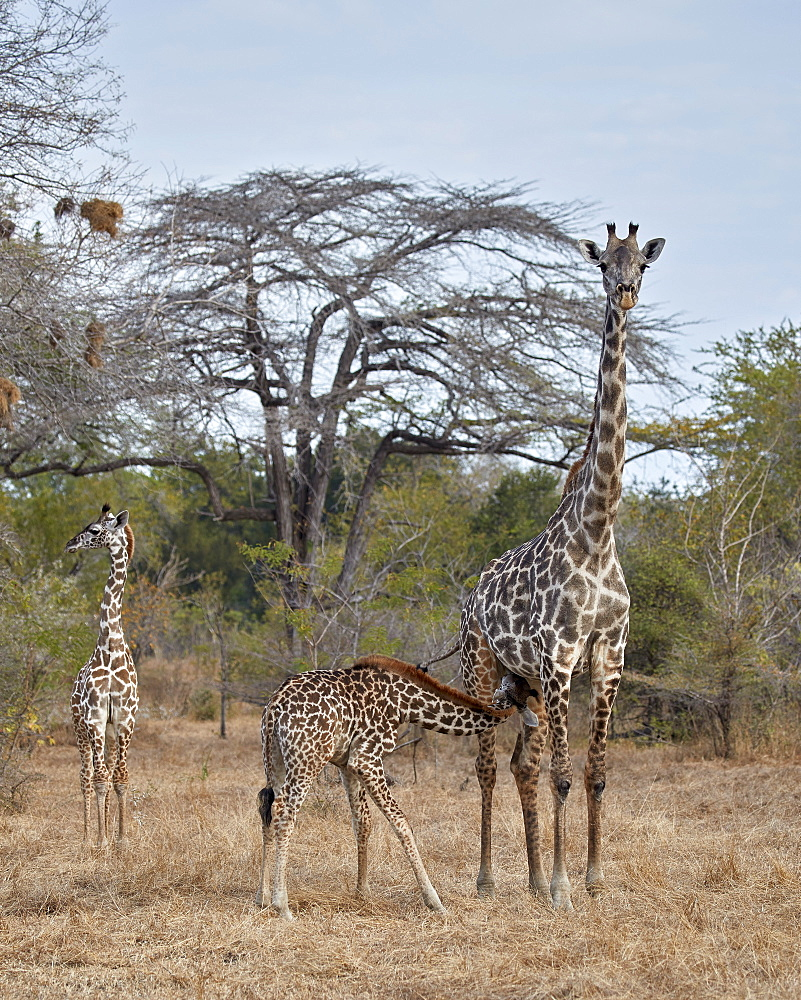 Masai Giraffe (Giraffa camelopardalis tippelskirchi) nursing, Selous Game Reserve, Tanzania