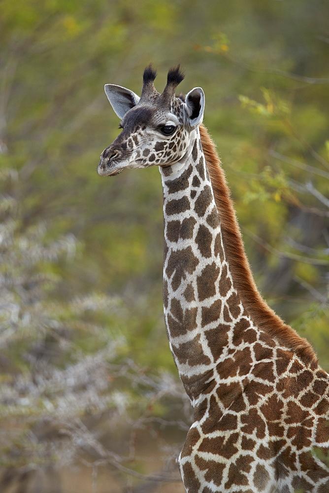 Young Masai Giraffe (Giraffa camelopardalis tippelskirchi), Selous Game Reserve, Tanzania