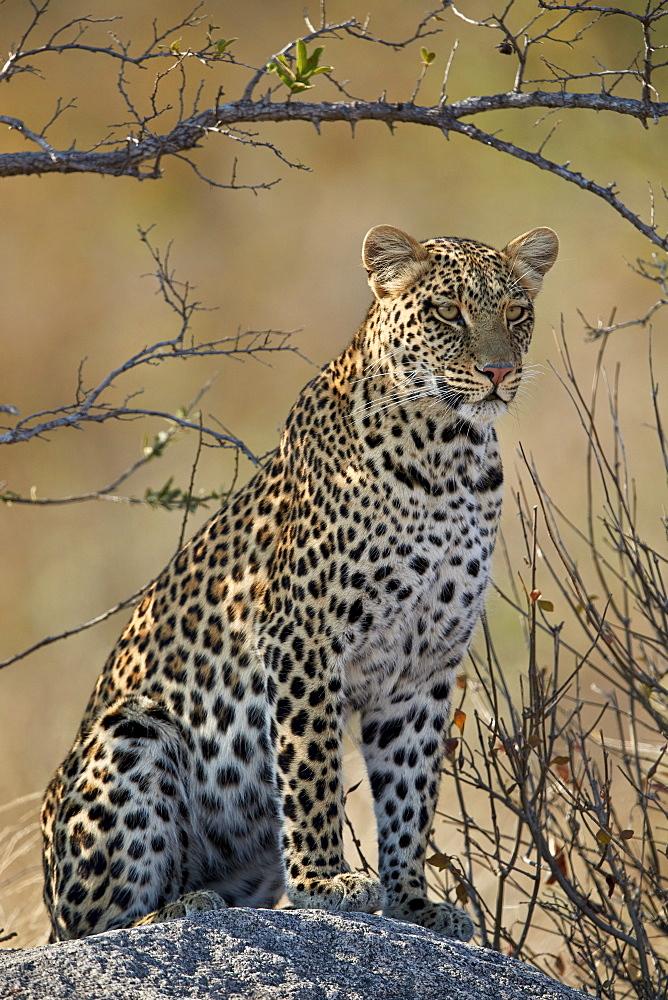 Leopard (Panthera pardus), Ruaha National Park, Tanzania