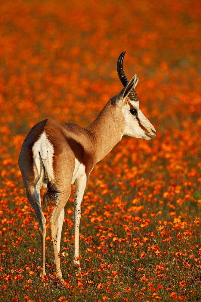 Springbok (Antidorcas marsupialis) among orange wildflowers (Namaqualand Daisies and Glossy-Eyed Mountain Daisies), Namaqualand