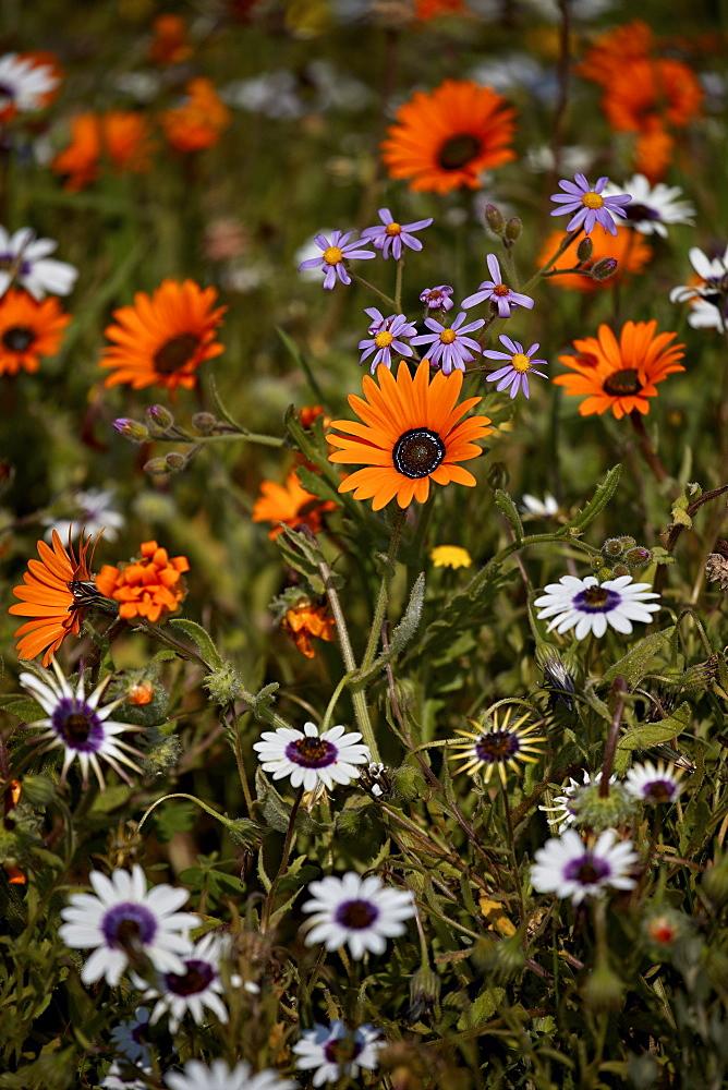 African daisy (Gousblom) (Arctotis hirsuta), white African daisy, Cape rain-daisy (Witbotterblom) (Dimorphotheca pluvialis), South Africa, Africa