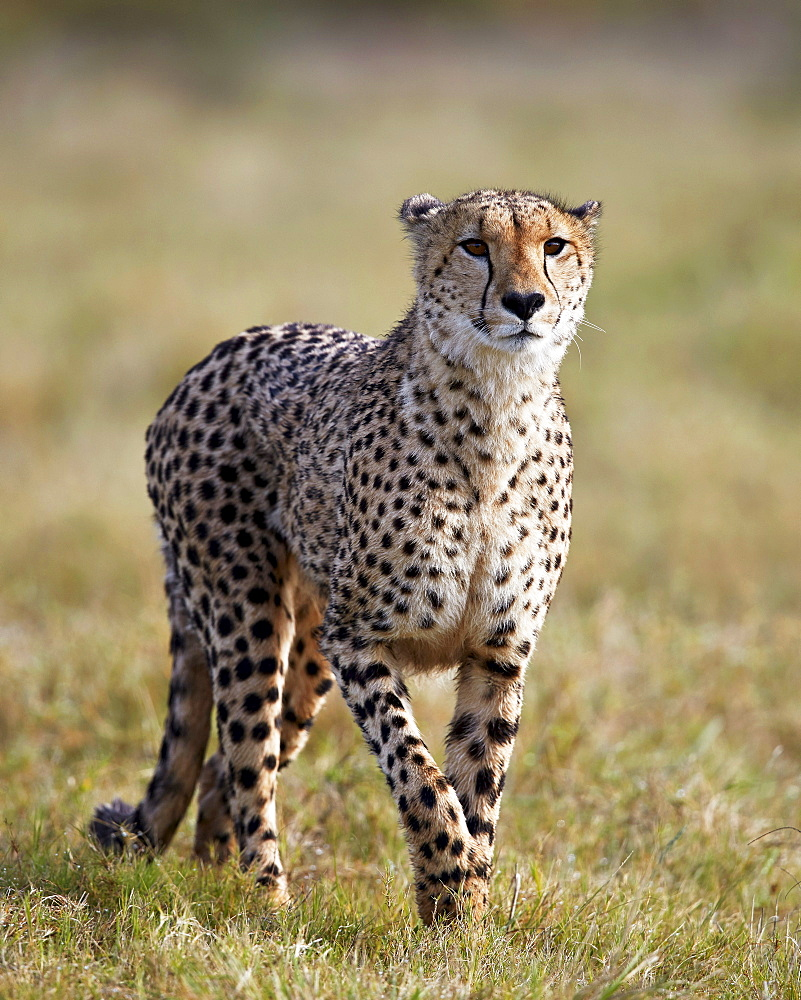 Cheetah (Acinonyx jubatus), Addo Elephant National Park, South Africa, Africa