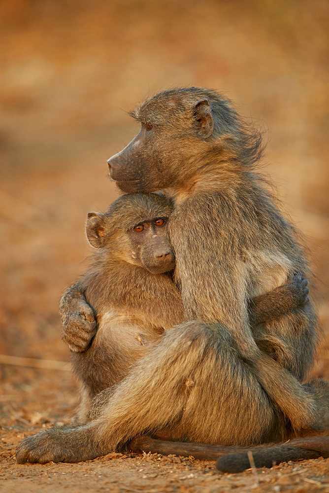 Chacma Baboon (Papio ursinus) comforting a young one, Kruger National Park, South Africa