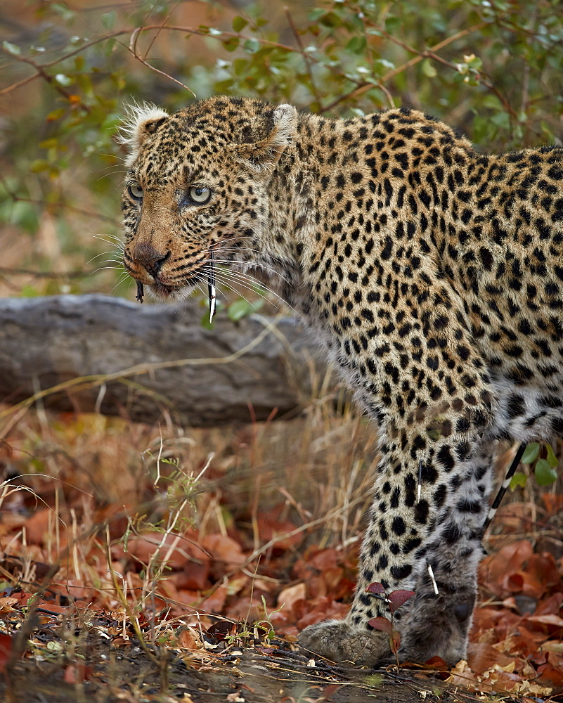 Leopard (Panthera pardus) with Cape Porcupine quills stuck in it, Kruger National Park, South Africa