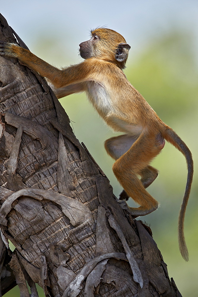 Yellow baboon (Papio cynocephalus), juvenile climbing a palm tree, Selous Game Reserve, Tanzania, East Africa, Africa
