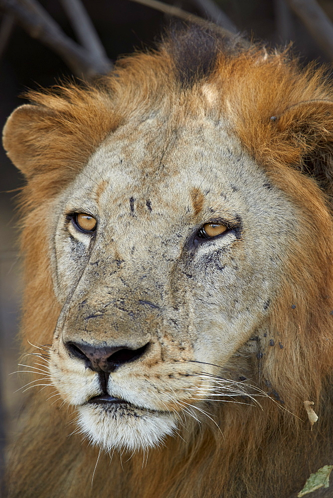 Lion (Panthera leo), Selous Game Reserve, Tanzania, East Africa, Africa