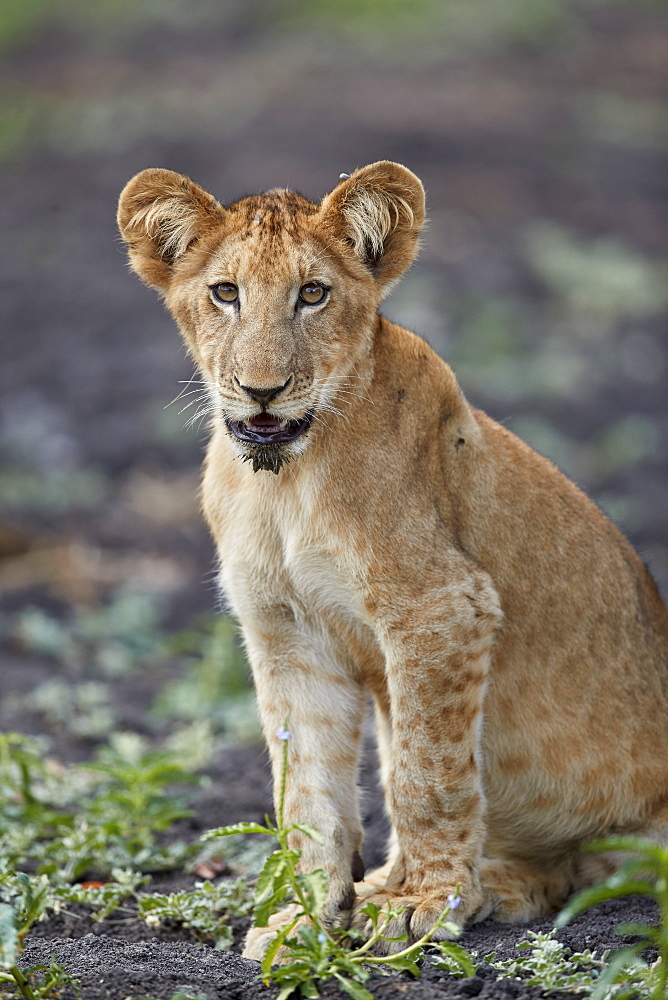 Lion (Panthera leo) cub, Selous Game Reserve, Tanzania, East Africa, Africa