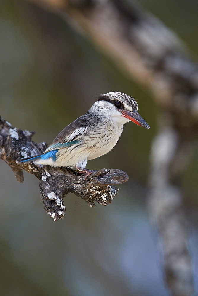 Striped kingfisher (Halcyon chelicuti), male, Selous Game Reserve, Tanzania, East Africa, Africa - 764-5632