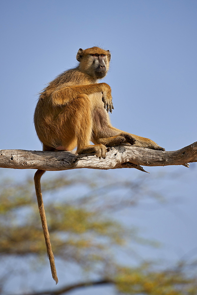 Yellow baboon (Papio cynocephalus), Selous Game Reserve, Tanzania, East Africa, Africa