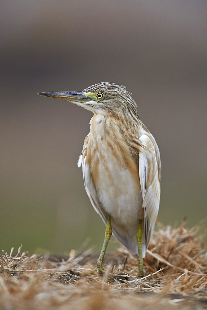 Common squacco heron (Ardeola ralloides), Mikumi National Park, Tanzania, East Africa, Africa