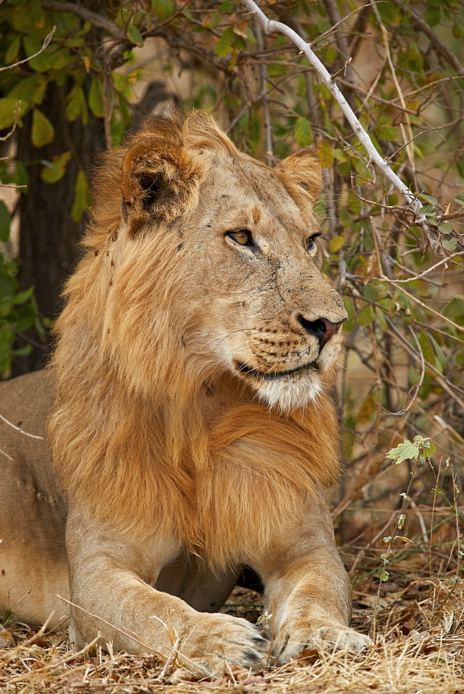 Male lion (Panthera leo), Ruaha National Park, Tanzania, East Africa, Africa