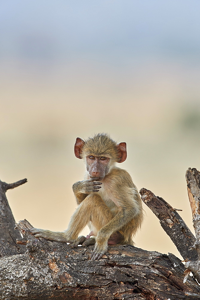 Young yellow baboon (Papio cynocephalus), Ruaha National Park, Tanzania, East Africa, Africa