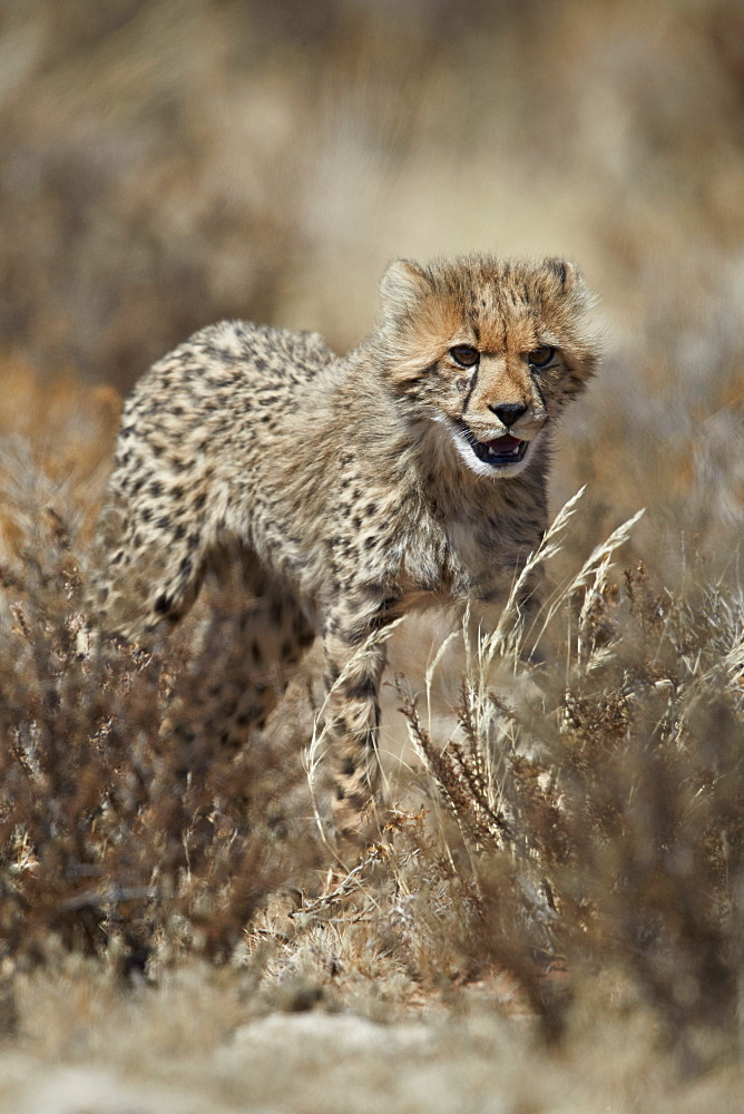 Cheetah (Acinonyx jubatus) cub, Kgalagadi Transfrontier Park, South Africa, Africa