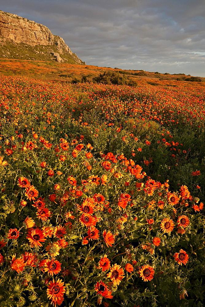 Bittergousblom (Namaqua marigold) (Arctotis fastuosa), Elands Bay, South Africa, Africa