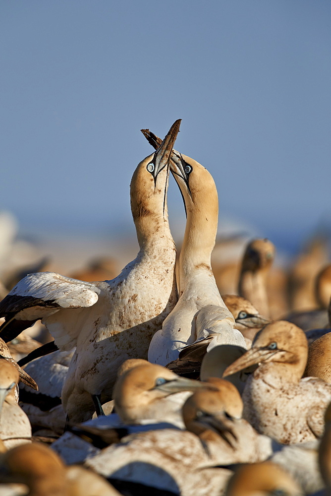 Cape Gannet (Morus capensis) pair necking, Bird Island, Lambert's Bay, South Africa - 764-5691