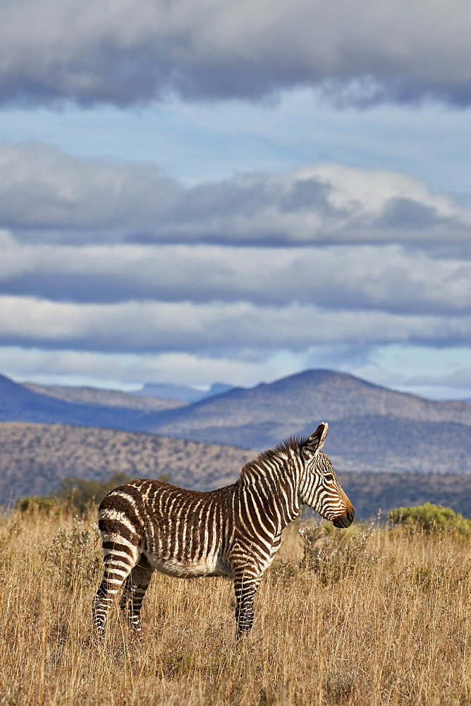Young Cape mountain zebra (Equus zebra zebra), Mountain Zebra National Park, South Africa, Africa