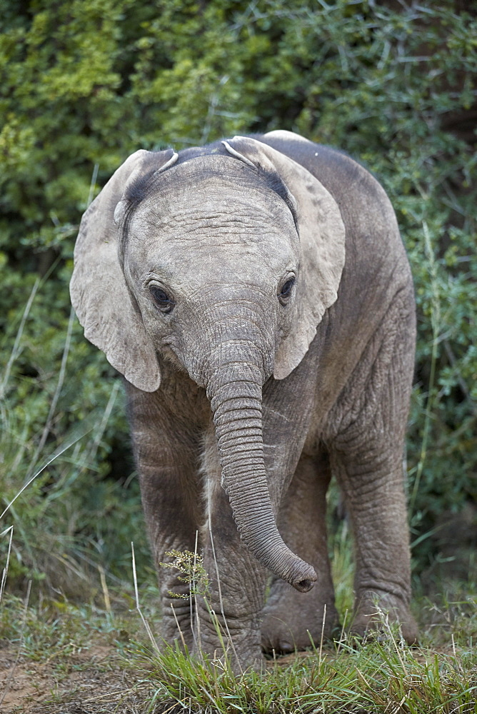 Baby African elephant (Loxodonta africana), Addo Elephant National Park, South Africa, Africa