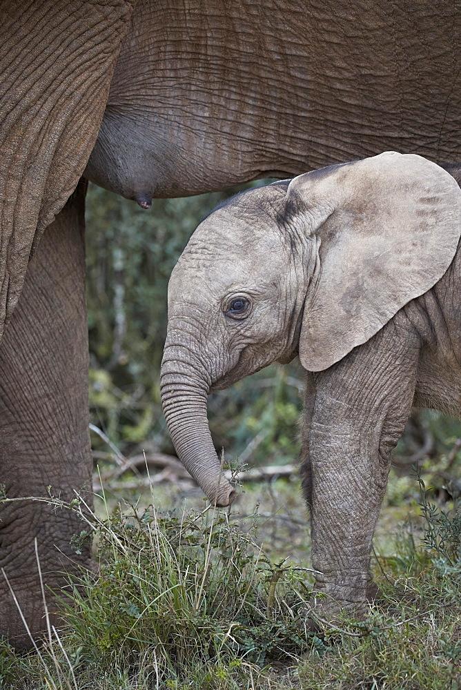 Baby African Elephant (Loxodonta africana), Addo Elephant National Park, South Africa