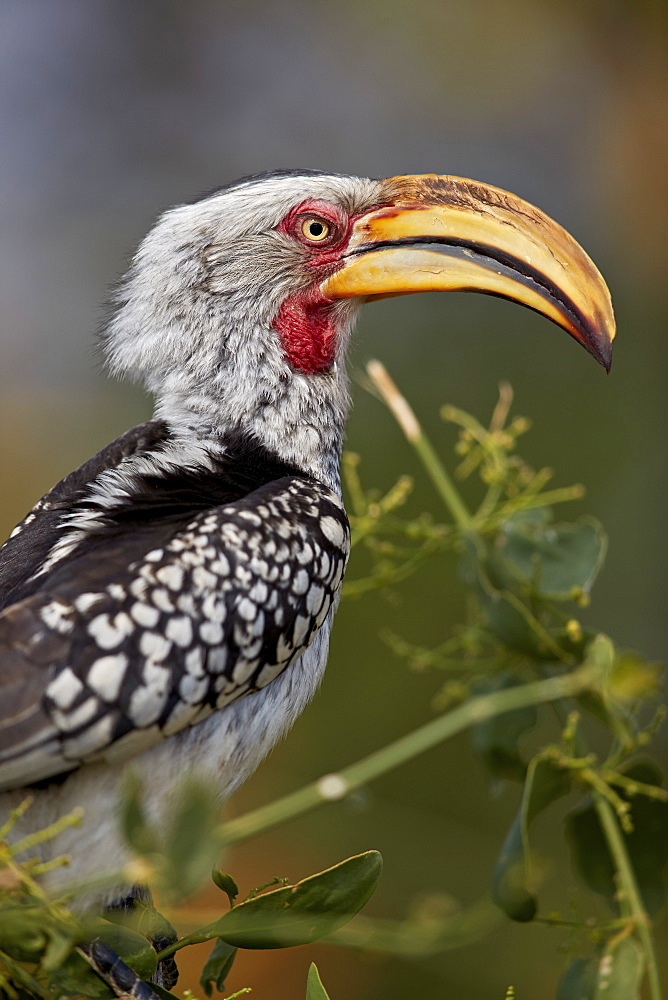 Southern yellow-billed hornbill (Tockus leucomelas), Kruger National Park, South Africa, Africa