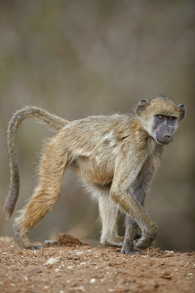 Chacma Baboon (Papio ursinus), juvenile, Kruger National Park, South Africa, Africa