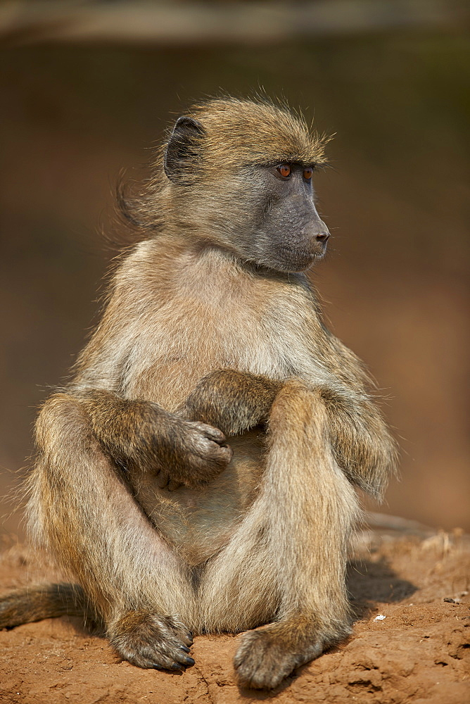 Chacma Baboon (Papio ursinus), juvenile, Kruger National Park, South Africa
