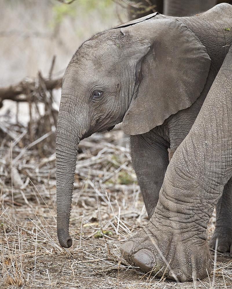 African Elephant (Loxodonta africana) juvenile, Kruger National Park, South Africa