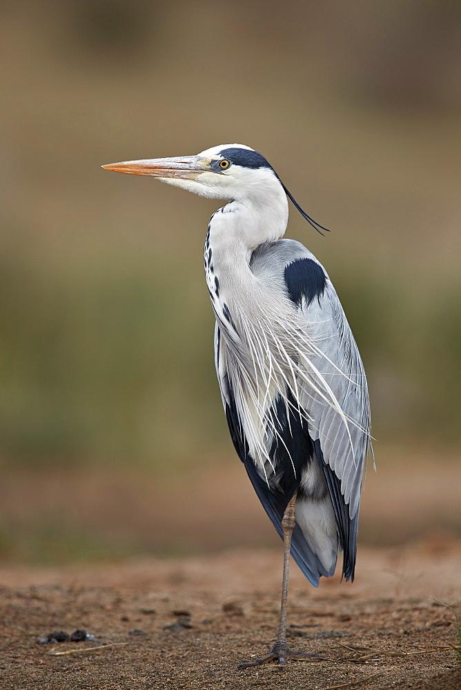 Gray Heron or Grey Heron (Ardea cinerea), Kruger National Park, South Africa
