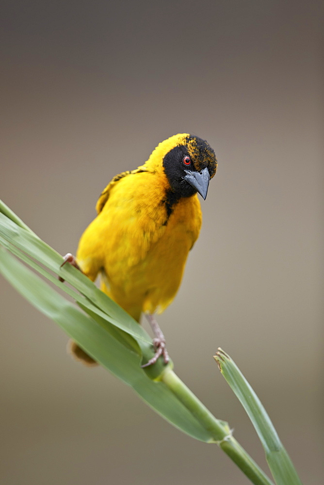 Southern masked weaver (Ploceus velatus), male, Kruger National Park, South Africa, Africa