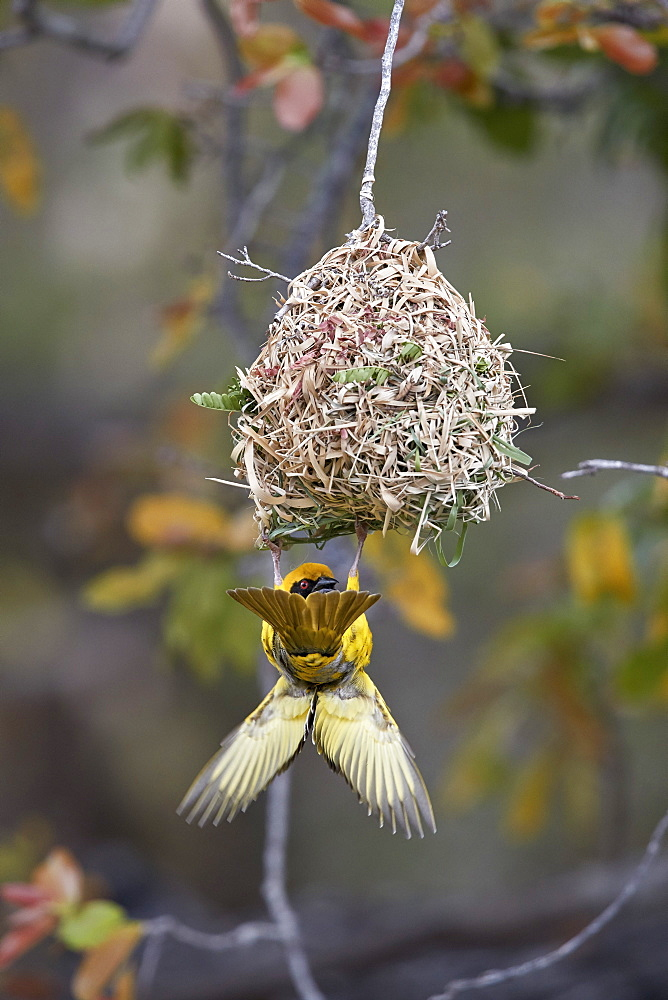 Southern masked weaver (Ploceus velatus), male building a nest, Kruger National Park, South Africa, Africa