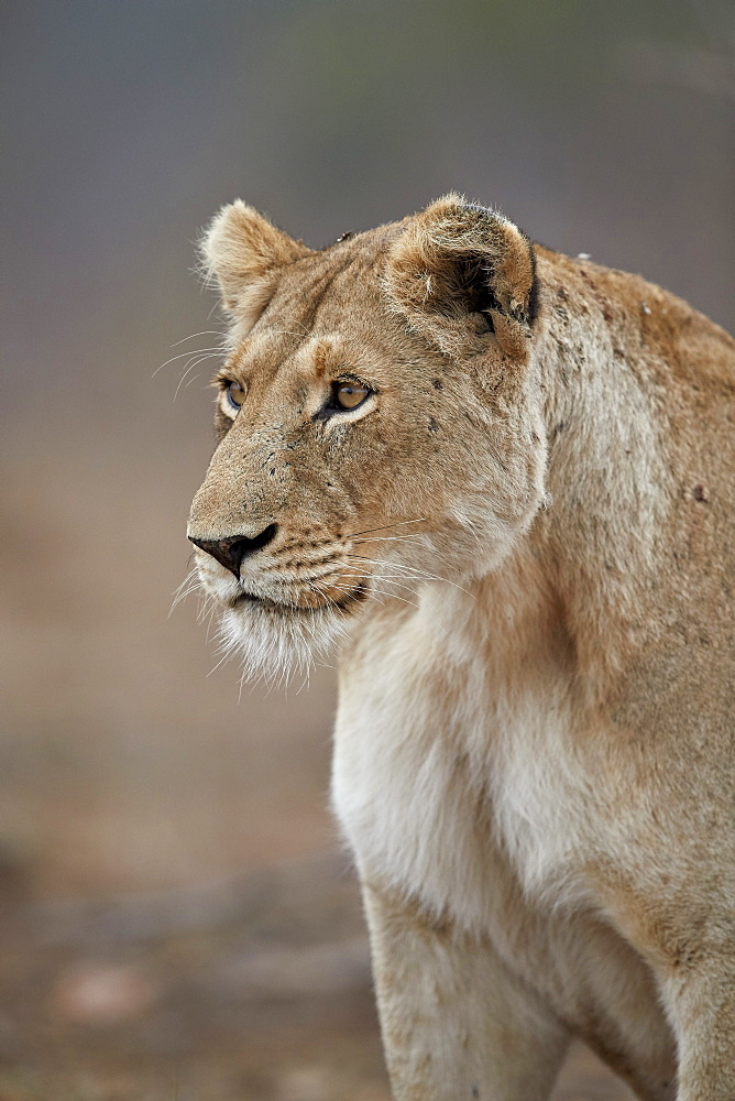 Lioness (Panthera leo), Kruger National Park, South Africa, Africa